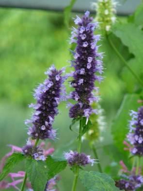 "Agastache (Agastache Hybrida ""Black Adder"")"
