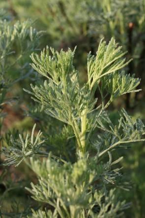 Eberraute (Artemisia abrotanum)