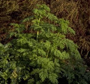 Einjähriger Beifuß (Artemisia annua)