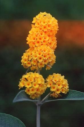 Buddleia x weyeriana 'Golden Glow' (Schmetterlingsflieder 'Golden Glow')