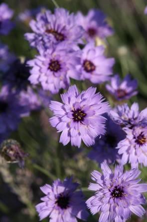 Blaue Rasselblume (Saatgut)