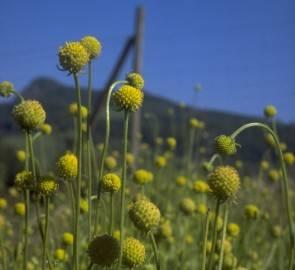 Gummibärchen-Blume (Cephalophora aromatica)