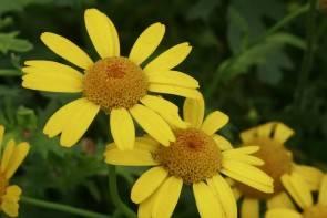 Saatwucherblume (Wildform)