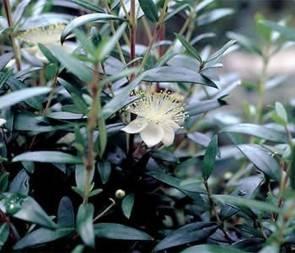 Großblättrige Brautmyrte (Myrtus communis)