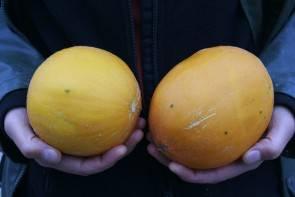 Kasachische Zuckermelone (Bio-Saatgut)