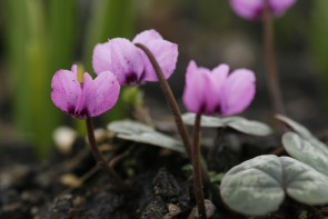 Frühlings-Alpenveilchen