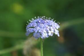Blaudolde (Saatgut)