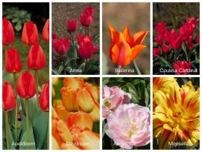 Dufte Tulpen für Garten und Kübel