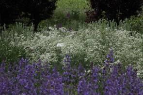 """Waldmeister (Galium glaucum """"Hohenhewen"""")"""