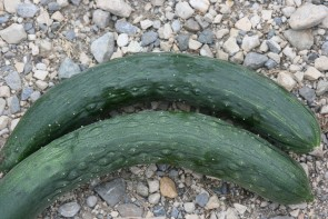 Gurken Verte long anglaise (Bio-Saatgut)