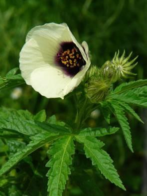Hanfhibiscus (Hibiscus cannabinus)