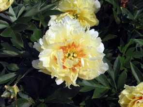 P. lactiflora x lutea Bartzella Pfingstrose
