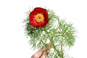 Schmalblättrige Pfingstrose (paeonia tenuifolia)