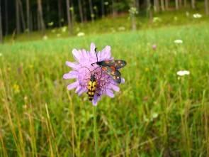 Witwenblume (Knautia arvensis)