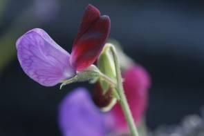 Duftwicke (Lathyrus matucana)
