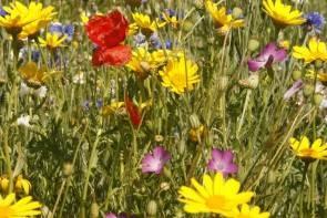 Mischung 07: Einjährige Sommerblumenmischung, Ackerbegleitflora