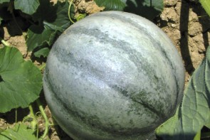 "Melone ""Petite Gris de Rennes"" (Bio-Saatgut)"