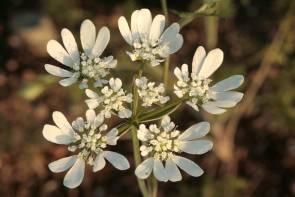 Strahlendolde (Orlaya grandiflora)