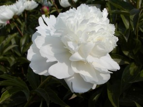 Paeonia lactiflora  Bing Shan
