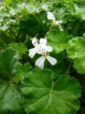 Apfelduft-Pelargonie (Pelargonium odoratissimum)
