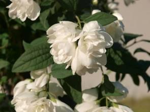Philadelphus 'Little White Love®' (Bauernjasmin 'Little White Love®')