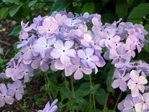 Phlox divaricata 'Blue Moon' (Waldphlox 'Blue Moon')