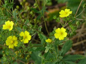 Aufrechtes Fingerkraut, Wildform (Potentilla recta)