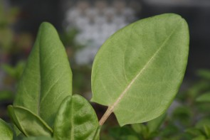 Gartensauerampfer (Saatgut)