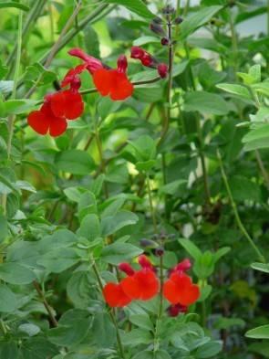"Pfirsichsalbei ""Royal Bumble"" (Salvia greggii ""Royal Bumble"")"