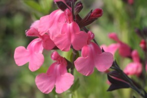 "Salbei-Auslese (Salvia greggii ""Syringa"")"
