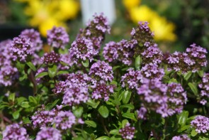 Feldthymian (Thymus pulegioides)