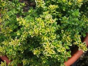 Zitronenthymian (Thymus x citriodorus 'Villa Nova')