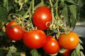 Tomate, Balkonzauber (Bio-Saatgut)