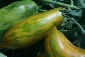 Tomate, Green Sausage, längliche ovale Sorte (Bio-Saatgut)