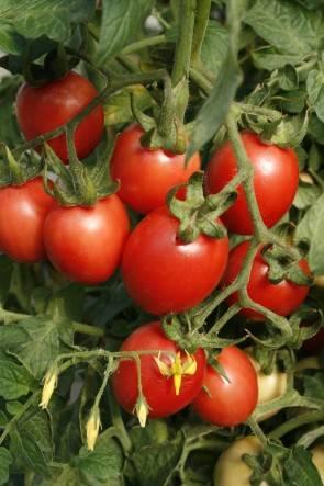Tomate, Rose de Pologne (Bio-Saatgut)