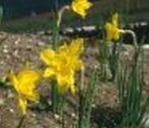 Duftnarzisse (Narcissus odorus regulosus)