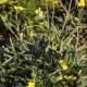 Rucola (Eruca vesicaria)
