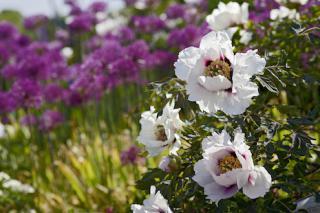 Strauchpäonienblüte im Syringa Schaugarten