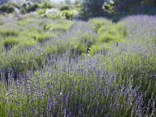 Lavendelwoche