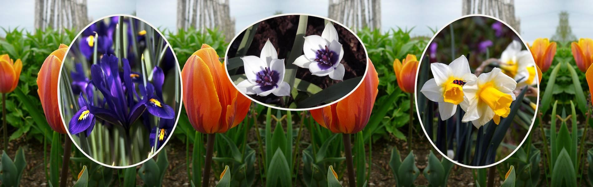 Blumenzwiebeln1_Version2