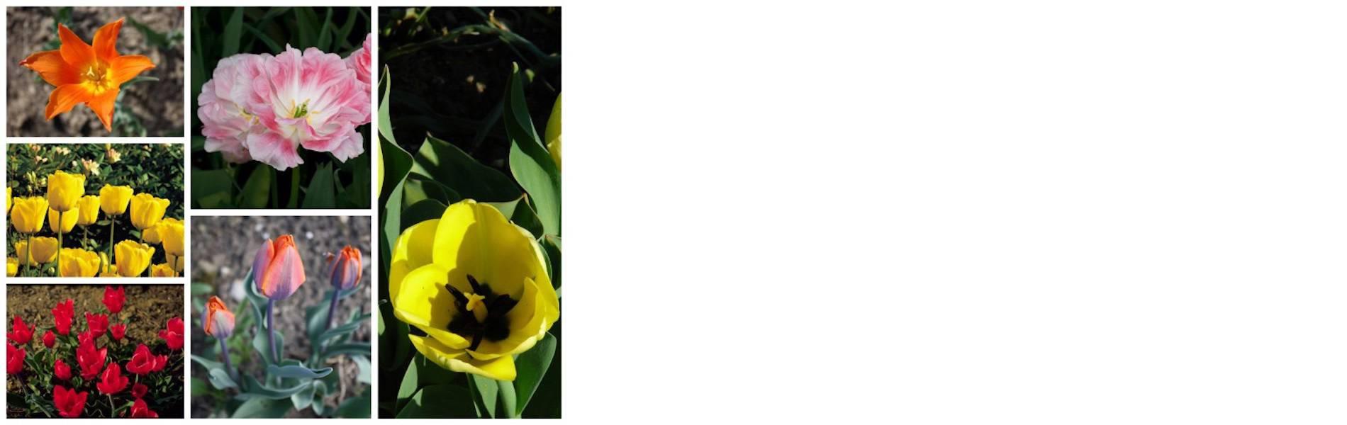 dufte-tulpen_3